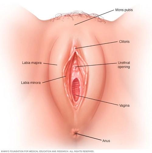ans7_vulva-8col